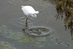 Little Egret photographed at Vale Pond [VAL] on 26/9/2012. Photo: © Tracey Henry