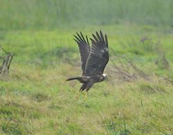 Marsh Harrier photographed at Colin Best NR [CNR] on 8/10/2012. Photo: © Royston Carr�