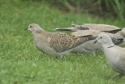 Turtle Dove photographed at Mont Marche on 8/10/2012. Photo: © Adrian Gidney