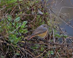 Redstart photographed at Fort Le Crocq [FLC] on 9/10/2012. Photo: © Royston Carr�