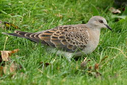 Turtle Dove photographed at Mont Marche on 11/10/2012. Photo: © Adrian Gidney