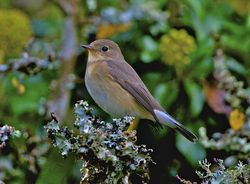 Red-breasted Flycatcher photographed at Vaux de Monel [MON] on 12/10/2012. Photo: © Royston Carr�