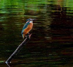 Kingfisher photographed at Rue des Bergers [BER] on 11/10/2012. Photo: © Mark Lawlor