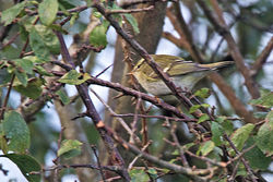 Yellow-browed Warbler photographed at Vaux de Monel [MON] on 13/10/2012. Photo: © Chris Bale
