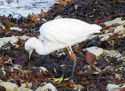 Little Egret photographed at Fort Le Crocq [FLC] on 12/10/2012. Photo: © Anthony Loaring