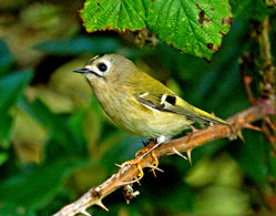 Goldcrest photographed at Vaux de Monel [MON] on 15/10/2012. Photo: © Mike Cunningham