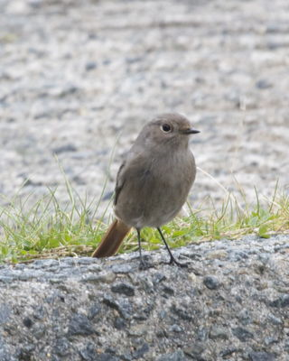 Black Redstart photographed at Fort Doyle [DOY] on 18/10/2012. Photo: © Cindy  Carre