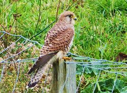 Kestrel photographed at Colin Best NR [CNR] on 19/10/2012. Photo: © Tracey Henry