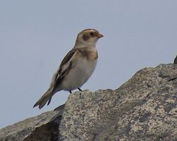 Snow Bunting photographed at Fort Doyle [DOY] on 20/10/2012. Photo: © Royston Carr�
