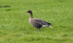 Pink-footed Goose photographed at Colin Best NR [CNR] on 20/10/2012. Photo: © Anthony Loaring