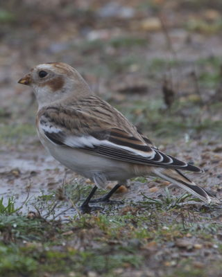 Snow Bunting photographed at Fort Le Marchant [MAR] on 22/10/2012. Photo: © Cindy  Carre