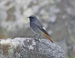 Black Redstart photographed at Fort Doyle [DOY] on 22/10/2012. Photo: © Royston Carr�