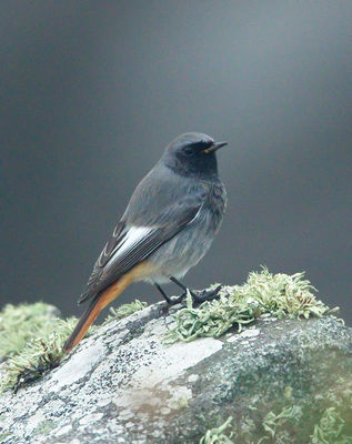Black Redstart photographed at Fort Doyle [DOY] on 22/10/2012. Photo: © Mike Cunningham