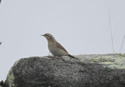 Wryneck photographed at Fort Doyle [DOY] on 22/10/2012. Photo: © Lydia Miller