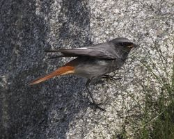Black Redstart photographed at Fort Doyle [DOY] on 23/10/2012. Photo: © Cindy  Carre