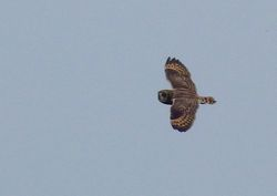 Short-eared Owl photographed at Mt. Herault [MHE] on 23/10/2012. Photo: © Mark Lawlor