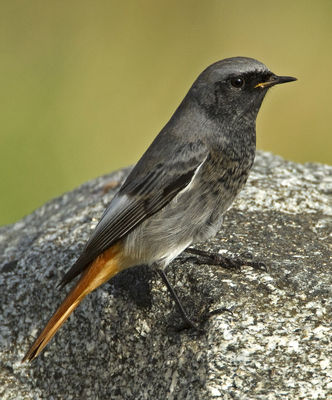 Black Redstart photographed at Fort Doyle [DOY] on 23/10/2012. Photo: © Mike Cunningham