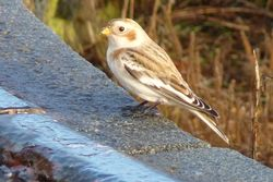 Snow Bunting photographed at Fort Le Marchant [MAR] on 23/10/2012. Photo: © Kevin Childs