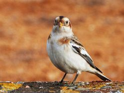 Snow Bunting photographed at Fort Le Marchant [MAR] on 25/10/2012. Photo: © Tracey Henry
