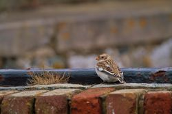 Snow Bunting photographed at Fort Le Marchant [MAR] on 26/10/2012. Photo: © Dan Scott
