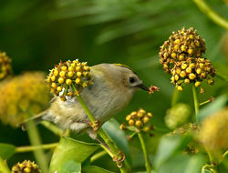 Goldcrest photographed at Icart on 27/10/2012. Photo: © Mike Cunningham
