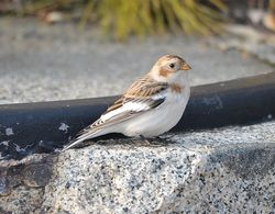 Snow Bunting photographed at Fort Le Marchant [MAR] on 25/10/2012. Photo: © Karen Jehan