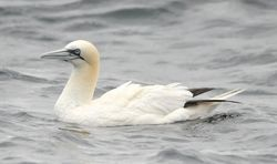 Gannet photographed at Pelagic [PEL] on 16/9/2012. Photo: © Karen Jehan