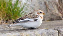 Snow Bunting photographed at Fort Le Marchant [MAR] on 27/10/2012. Photo: © Anthony Loaring