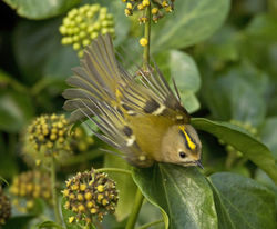 Goldcrest photographed at Icart [ICA] on 27/10/2012. Photo: © Mike Cunningham