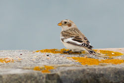 Snow Bunting photographed at Fort Le Marchant [MAR] on 28/10/2012. Photo: © Rod Ferbrache