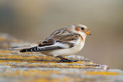 Snow Bunting photographed at Fort Le Marchant [MAR] on 28/10/2012. Photo: © Chris Bale