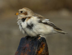 Snow Bunting photographed at Fort Le Marchant [MAR] on 27/10/2012. Photo: © Mike Cunningham