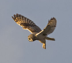 Short-eared Owl photographed at Mt Herault on 30/10/2012. Photo: © Anthony Loaring