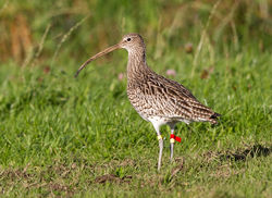 Curlew photographed at Torteval [TOR] on 6/11/2012. Photo: © Anthony Loaring