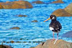 Oystercatcher photographed at Saline Bay on 6/11/2012. Photo: © Tracey Henry