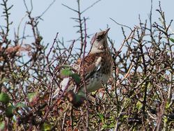 Fieldfare photographed at Chouet [CHO] on 10/11/2012. Photo: © Tracey Henry