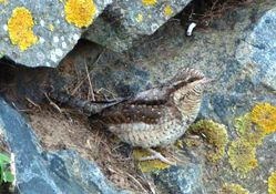 Wryneck photographed at Chouet [CHO] on 11/11/2012. Photo: © Mark Guppy