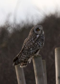 Short-eared Owl photographed at Pleinmont [PLE] on 11/11/2012. Photo: © Cindy  Carre