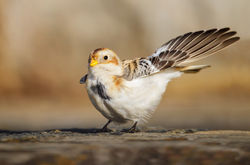 Snow Bunting photographed at Fort Le Marchant [MAR] on 27/10/2012. Photo: © steve levrier