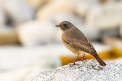Black Redstart photographed at Pulias [PUL] on 23/11/2012. Photo: © Anthony Loaring