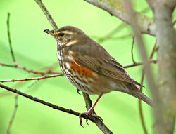 Redwing photographed at Rue des Bergers [BER] on 28/11/2012. Photo: © Mike Cunningham