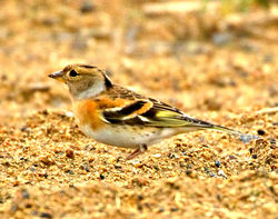 Brambling photographed at Pleinmont [PLE] on 29/11/2012. Photo: © Mike Cunningham