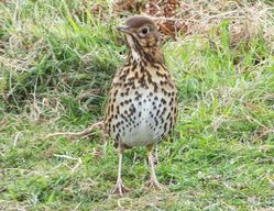 Song Thrush photographed at Fort Doyle [DOY] on 30/11/2012. Photo: © Tracey Henry