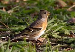 Brambling photographed at Courtil de Bas, STS [CO1] on 1/12/2012. Photo: © Vic Froome