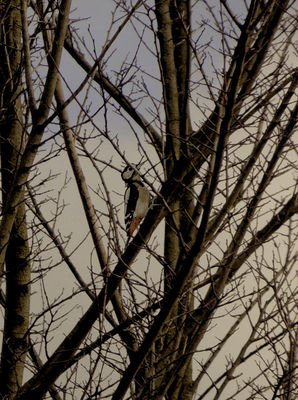 Great Spotted Woodpecker photographed at Rue des Bergers [BER] on 2/12/2012. Photo: © Royston Carr�