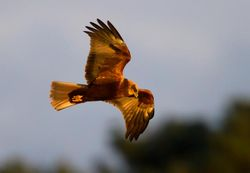 Marsh Harrier photographed at Claire Mare [CLA] on 4/12/2012. Photo: © Vic Froome