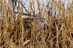 Snipe photographed at Claire Mare [CLA] on 6/12/2012. Photo: © Rod Ferbrache