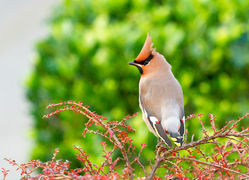 Waxwing photographed at Upper St. Jacques [UPJ] on 10/12/2012. Photo: © Anthony Loaring