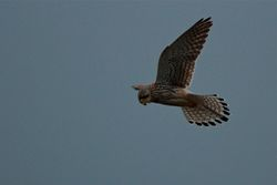 Kestrel photographed at Grandes Havres [GHA] on 15/12/2012. Photo: © Simon Murfitt