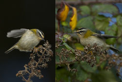 Firecrest photographed at Vaux de Monel [MON] on 1/12/2012. Photo: © Mike Cunningham